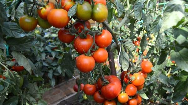 Daha iyi fide gelişimi için domateslerin üst sargısı 29