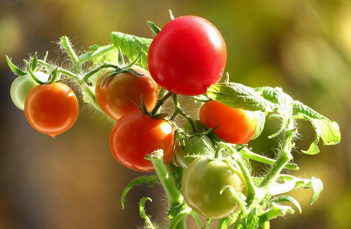 Seralar için domates çeşitleri - seçme ve yetiştirme