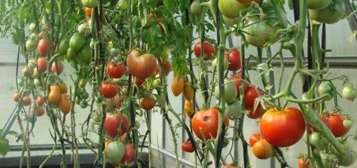 Daha iyi fide gelişimi için domateslerin üst sargısı 91