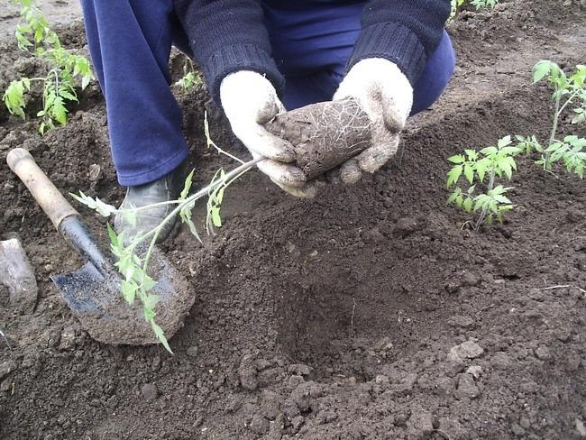 Когда лучше высаживать помидоры в открытый грунт