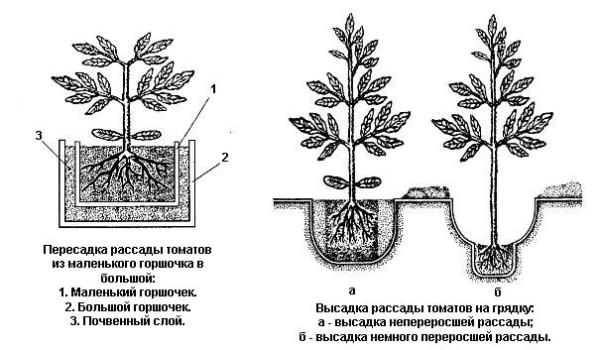 Сорта томатов и схема их посадки