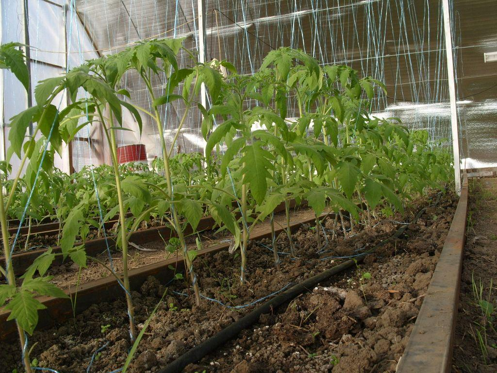 Salatalıkları nasıl pencere kenarında veya balkonda büyütebilirim