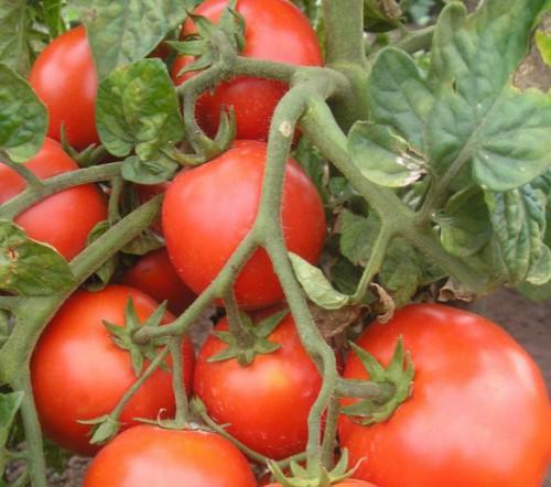 Лучшие сорта помидоров для открытого грунта какие сорта помидор (томатов) самые урожайные