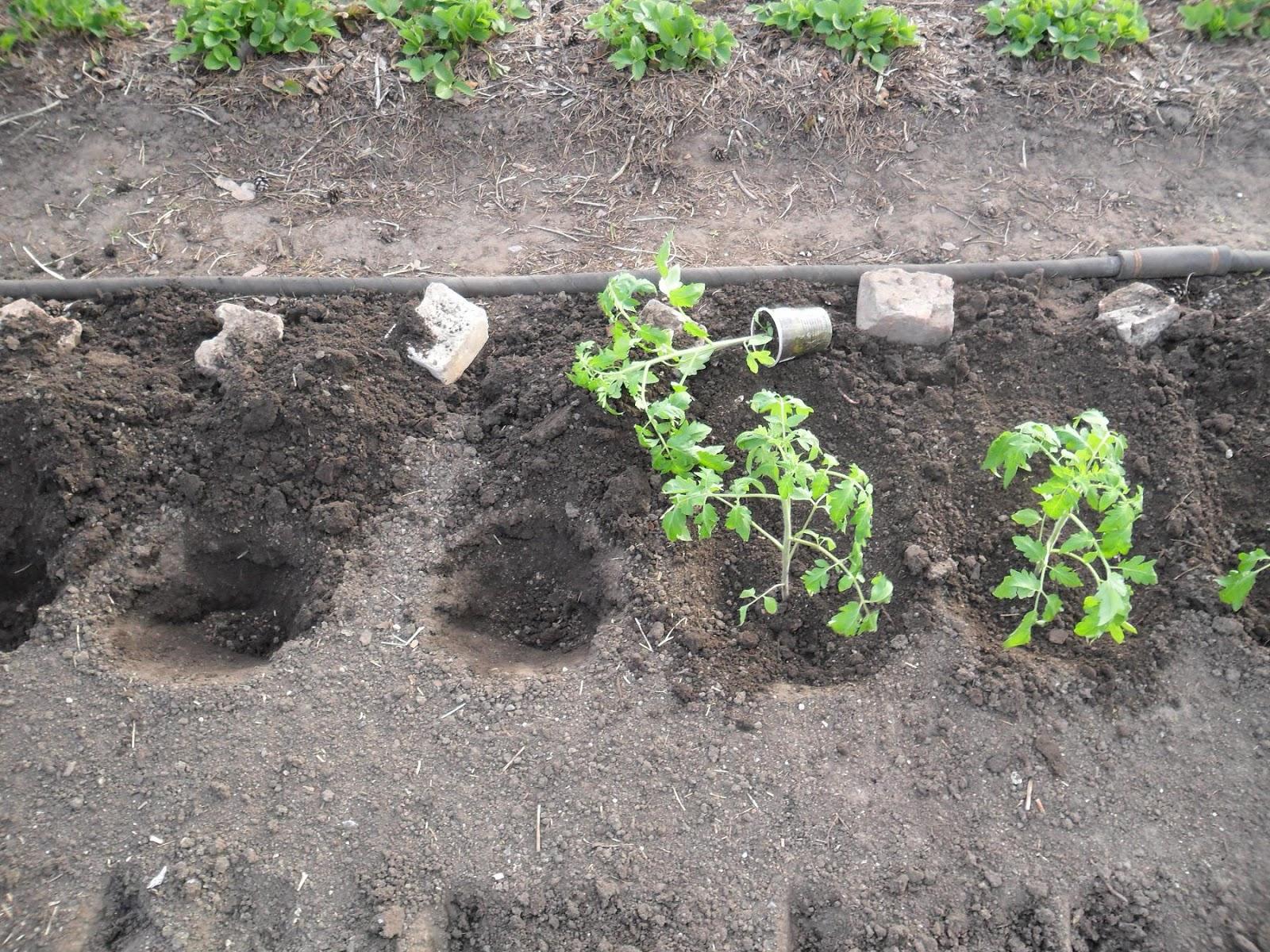 Domates fidelerinin ne zaman açık zemine dikileceği