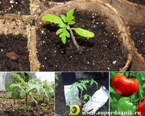 Daha iyi fide gelişimi için domateslerin üst sargısı 24