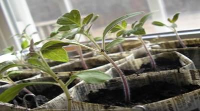 У помидоров фиолетовые листья почему возникает проблема и что делать в подобном случае