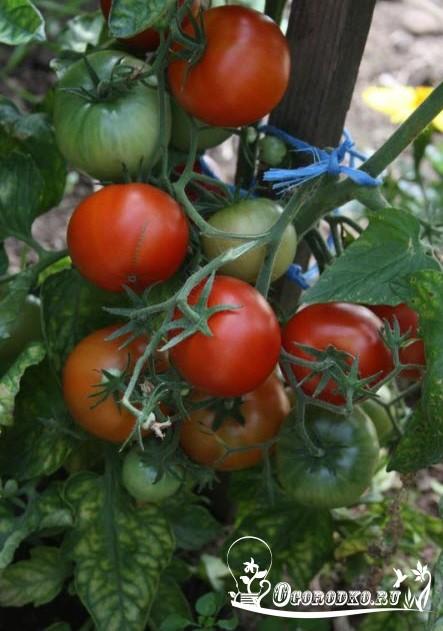 Какие сорта томатов сладкие и вкусные. Каки сорта томатов для открытого грунта являются самыми урожайными