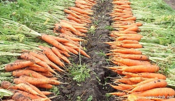 Как определить когда выкапывать морковь и свеклу. Когда убирать свеклу и морковь. Ориентиры для сбора урожая