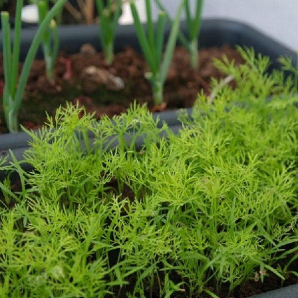 Лето круглый год: как вырастить укроп на подоконнике, на балконе Выращивание зелени укропа из семян